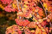 Multicolored paint autumn Rowan — Stock Photo