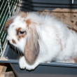 Angora lop-eared rabbit — Stock Photo
