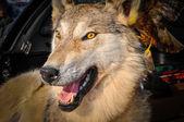 Stuffed Wolf — Stock Photo
