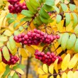Multicolored paint autumn Rowan. — Stock Photo