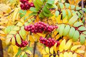 Multicolored paint autumn Rowan. — Stock Photo