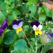 Stock Photo: Flowers pansies or charming viola.