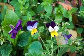 Flowers pansies or charming viola. — Photo
