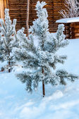 The little fir tree and soft fluffy snow — Stock fotografie