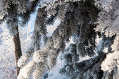Spruce needles and soft fluffy snow — Stockfoto