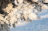 Spruce needles and soft fluffy snow — Stock Photo