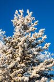 Nadelbaum und weichen flauschigen schnee — Stockfoto