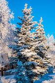 Conifeerachtige boom en zachte pluizige sneeuw — Stockfoto