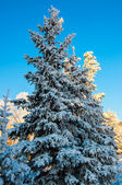 Coniferous tree and soft fluffy snow — Stockfoto