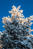 Coniferous tree and soft fluffy snow — 图库照片