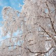 Foto Stock: White fluffy snow on white birch