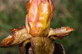 Spring chestnut buds — Stock Photo