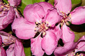 Pink flowers spring crabapple — Stock Photo