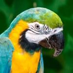 Blue-and-yellow Macaw or Ara ararauna — Stock Photo #48023217
