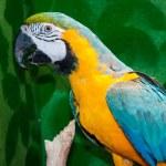 Blue-and-yellow Macaw or Ara ararauna — Stock Photo #48023219