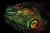 Red iguana, — Stock Photo