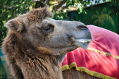 The head of the camel — Stock Photo