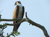 Osprey Resting in a Tree — Stock Photo