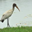 Juvenile Wood Stork by Lake — Stock Photo