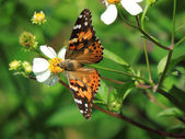 Painted Lady (Vanessa cardui) Butterfly — Stock Photo