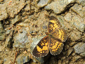 Silvery Checkerspot (Chlosyne nycteis) Butterfly — Stock Photo