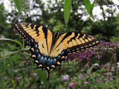 Female Eastern Tiger Swallowtail (Papilio glaucus) — Stock Photo