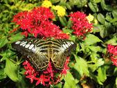The Clipper (Parthenos sylvia) Butterfly — Stock Photo