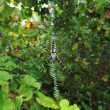 Stock Photo: Writing Spider (Argiope aurantia)