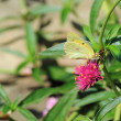 Stock Photo: Clouded Sulphur (Colias philodice)