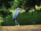 Little Blue Heron (Egretta caerulea) — Стоковое фото