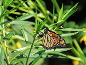Monarch (Danaus plexippus) Butterfly — 图库照片
