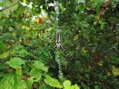 Writing Spider (Argiope aurantia) — Stock Photo