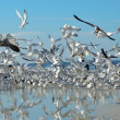 Stock Photo: Birds in Flight