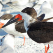 Black Skimmer (Rynchops niger) — Stock Photo