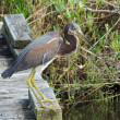 Stock Photo: Tricolored Heron (Egretta tricolor)