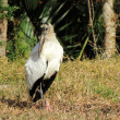 Wood Stork (Mycteria americana) — Stock Photo