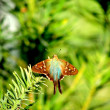 Long-tailed Skipper (Urbanus proteus) — 图库照片 #22876630