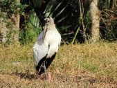 Wood Stork (Mycteria americana) — Stock Photo