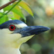 Black-crowned Night-heron (Nycticorax nycticorax) - Stock Photo