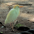 Cattle Egret (Bubulcus ibis) — Stock Photo