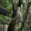 Cattle Egret (Bubulcus ibis) in the trees. — Stock Photo