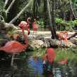 Great Flamingos (Phoenicopterus ruber) — Stock Photo