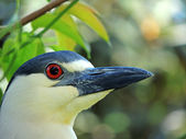 Black-crowned Night-heron (Nycticorax nycticorax) — Stock Photo
