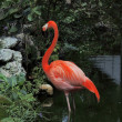 Stock Photo: Greater Flamingo (Phoenicopterus ruber) wading