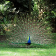 Male Peafowl (Peacock) displaying his plumage. — Stock Photo