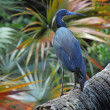 Little Blue Heron (Egretta caerulea) — Stock Photo