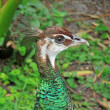 Stock Photo: Female Peafowl (Peacock) head profile.