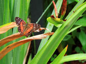 Coolie butterfly resting with wings spread. — Stock Photo