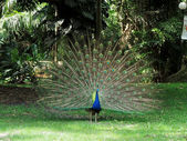 Male Peafowl (Peacock) displaying his plumage. — Stock Photo