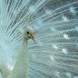 White Peacock Fanning — Stock Photo
